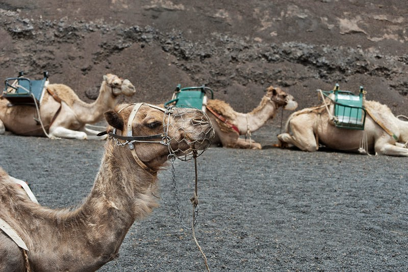 Visitare il Timanfaya a cavallo di un cammello
