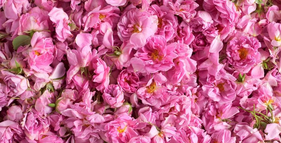La fioritura della Valle delle Rose a Kazanlak, in Bulgaria
