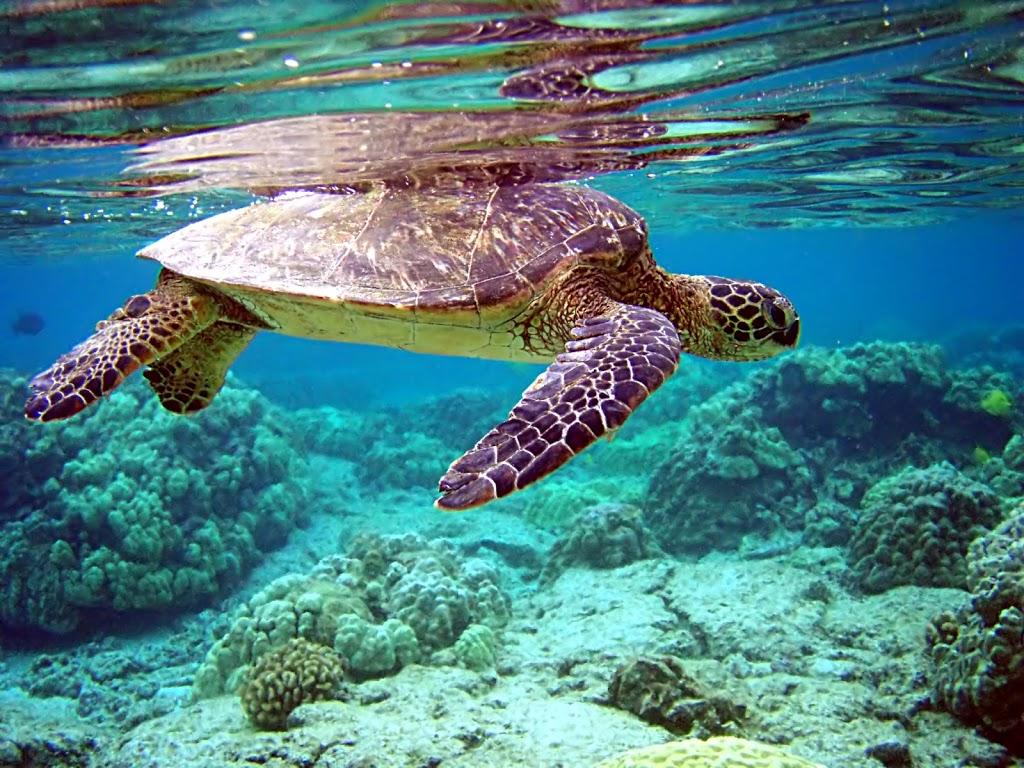 Nuotare tra tartarughe, pesci e coralli nel mare delle Maldive