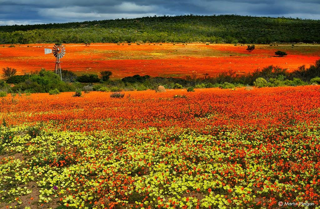 La straordinaria fioritura in primavera del deserto di Namaqualand, Sud Africa