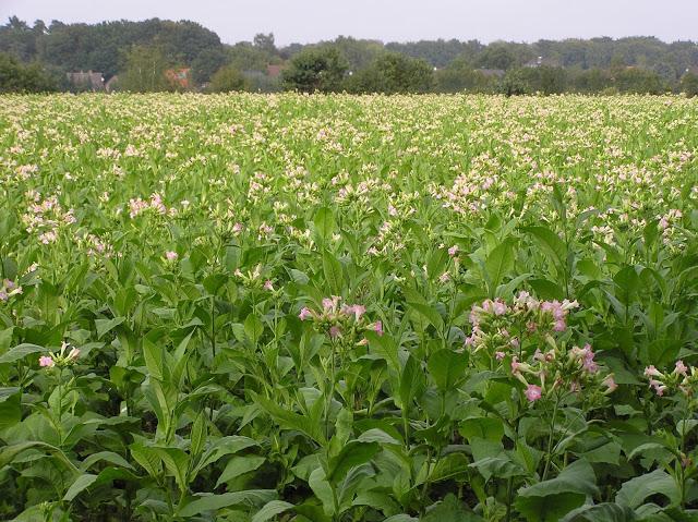 piantagione di tabacco a pinar del rio